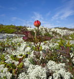 Chamaemorus de Cloudberries.Rubus. Imágenes de archivo libres de regalías