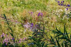 Chamaenerion angustifolium. Also known as fireweed, great willowherb, rosebay willowherb royalty free stock photo
