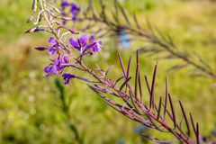 Chamaenerion angustifolium. Also known as fireweed, great willowherb, rosebay willowherb royalty free stock images