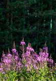 Chamaenerion angustifolium flower, also known as fireweed, against dark forest. Chamaenerion angustifolium flower, also known as fireweed, great willowherb and stock photos