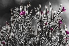 Chamaenerion angustifolium. An almost monotone backlit image of Rosebay Willowherb, Chamaenerion angustifolium, North Yorkshire, England royalty free stock photography