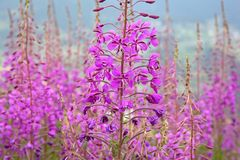 Chamaenerion angustifolium is a perennial herbaceous plant. In the willowherb family Onagraceae. It is native throughout the temperate Northern Hemisphere royalty free stock photo