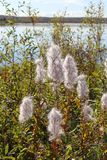 Chamaenerion angustifolium. Willow herb autumn on the lake on th. Chamaenerion angustifolium. Down with willow-herb seeds in autumn in Siberia royalty free stock image