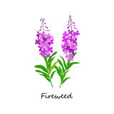 Chamaenerion. Fireweed. Wildflower. Botany Set herbs. Royalty Free Stock Image