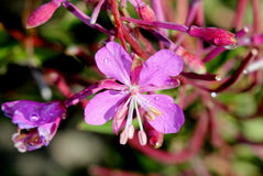 Chamaenerions-angustifolium, Fireweed, Oleander Willowherb Stockfotos