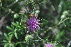 Chamaepeuce blommar i Cypern Royaltyfri Bild
