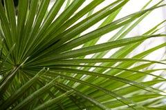 Chamaerops Humilis植物-美好的细节和纹理 免版税图库摄影