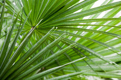 Free Chamaerops Humilis Plant - Beautiful Details And Texture Stock Images - 76372634