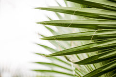 Free Chamaerops Humilis Plant - Beautiful Details And Texture Royalty Free Stock Images - 77777089