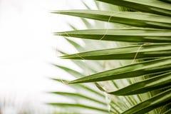 Chamaerops Humilis växt - härliga detaljer och textur Royaltyfria Bilder