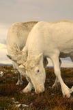 Chamailleries de renne Photos libres de droits