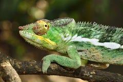 Chamaleon 免版税图库摄影