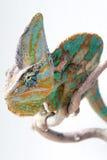 Chamaleon curioso Imagen de archivo libre de regalías
