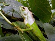 Chamaleon. On leaf Royalty Free Stock Photos