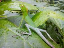 Chamaleon on leaf. Green chamaleon sitting on leaf royalty free stock images