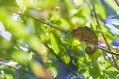 Chamaleon of Reunion Island. On a tree branch Stock Image