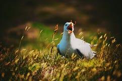 Chamando a gaivota Fotos de Stock