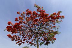 Chamativo coroado com flores vermelhas, sobre o céu azul imagem de stock royalty free