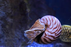 Chambered nautilus Royalty Free Stock Photography