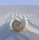 Chambered Nautilus (Nautilus. Pompilius) on sand dune Stock Photography