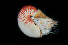 The Chambered Nautilus or Nautilus pompilius. The Cephalopoda, comonly called the Chambered Nautilus has a nearly perfect spiral, has normal colours of red and Royalty Free Stock Photos