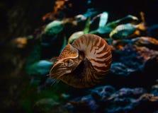 Chambered Nautilus. (pompilius) underwater in a aquarium Royalty Free Stock Images