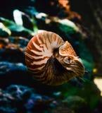 Chambered Nautilus. (pompilius) underwater in a aquarium Stock Photo