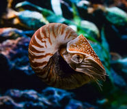 Chambered Nautilus Royalty Free Stock Images