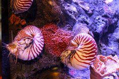 Chambered nautilus Royalty Free Stock Photography
