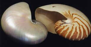 chambered nautilus shells Stock Photography