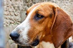 Chambord castle hunting dog Royalty Free Stock Image