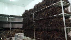 Chambre spéciale pour stocker les actions de noix, jeunes plantes de noix avec un système de racine jeunes plantes greffées de ha banque de vidéos