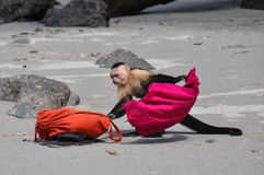 Chame a polícia! Capuchin enfrentado branco em Manuel Antonio, costela R imagens de stock royalty free