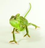 Chamealeo Chalyptratus Frau Lizenzfreies Stockfoto
