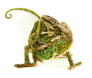 Chamealeo Chalyptratus Male Stock Image