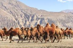 Chameau à l'Inde Photo stock