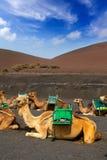 Chameau à Lanzarote en montagnes d'incendie de timanfaya photos stock