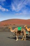 Chameau à Lanzarote en montagnes d'incendie de timanfaya image libre de droits