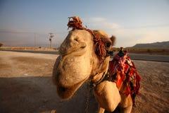 chameau Photo stock