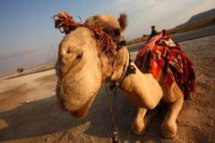 chameau Photo libre de droits