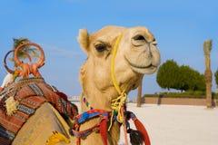 chameau photographie stock libre de droits