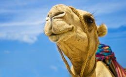 chameau Photographie stock