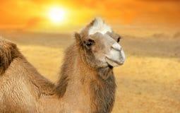 Chameau au coucher du soleil Image libre de droits