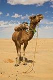 Chameau au Sahara Image libre de droits