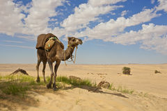 Chameau au Sahara Photographie stock libre de droits