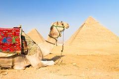 Chameau aux pyramides de Gizeh, le Caire, Egypte. Photo stock