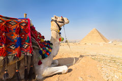 Chameau aux pyramides de Gizeh, le Caire, Egypte. Photographie stock