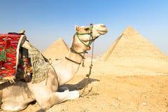 Chameau aux pyramides de Gizeh, le Caire, Egypte. Photographie stock libre de droits