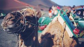 Chameau avec le museau sur la bouche avec des montagnes du feu de timanfaya photo stock