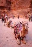Chameau bédouin Image libre de droits